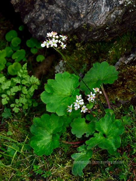 52.Saxifraga punctata,nelsoniana 2014.6.28#130. The Cordate-leaved Saxifrage. Savage Canyon east side, Denali Park Alaska.