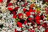"""69. """"Taiga Forest Carpet"""". A typical ground cover of Stereocaulon, Sphaeophorus,Thamnolia, and Cetraria lichen species mixed with Alpine Bearberry and Lowbush Cranberry. Denali country,eastern Alaska Range. #91.027."""