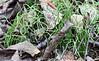 4.Equisetum scirpoides 2000.9.17#18. Dwarf Horsetail. Rainbow Trail, Turnagain Arm Alaska.