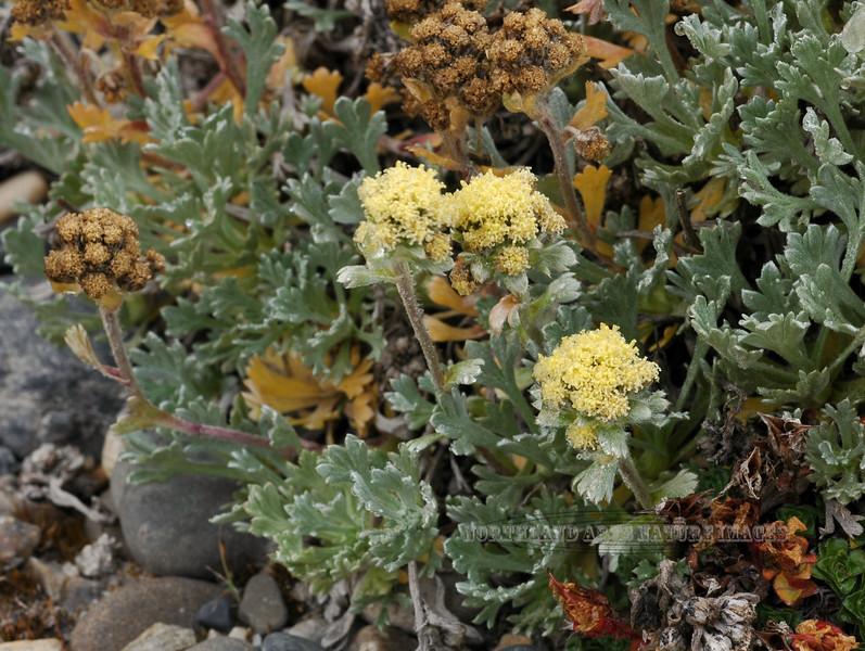 89.Artemisia glomerata 2007.8.4#277. Pacific Alpine Wormwood. Coastal Plain of the North Slope, approx. 20 miles south of Deadhorse on the Sagavanirktok River, Alaska.