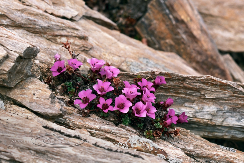 52.Saxifraga oppositifolia 1999.6.8#3. The Purple Mountain Saxifrage. Mount Healy Overlook Trail above the Old Hotel, Denali Park Alaska. Scanned from old film stock.