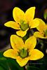 52.Saxifraga hirculus 2012.6.30#027. The Bog Saxifrage. Primrose Ridge, Denali Park Alaska.