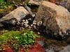 52.Saxifraga punctata 2012.7.10#032. Growing amongst a bed of Chrysosplenium tetrandrum and red Sphagnum moss, maybe warnstorfii. Phillip Smith Mountains, Brooks Range, Alaska.
