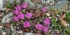 69.Rhododendron lapponicum 2013.6.21#088. The Lapland Rosebay. Eleven mile, Denali highway, Eastern Denali country Alaska.