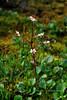 52.Saxifraga lyalli 2010.7.12#003. The Red-stemmed Saxifrage. Summit area of Hatcher Pass, Talkeetna mountains, Alaska.