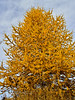 17.Larix laricina 2015.10.9#036. The Alaska Larch or Tamarack. Raspberry Road, Anchorage, Alaska.