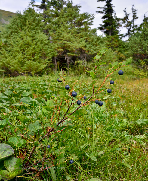 69.Vaccinium ovalifolium 2014.8.6#092. The Mountain,Early,Oval or Alaska Blueberry. The largest blueberry shrub that grows in Alaska, sometimes to 5 feet. Turnagain Pass, Alaska.