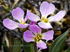 49.Parrya nudicaulis ssp.interior 2007.6.14#0259. The Parry's Wallflower. Denali Highway, Alaska.