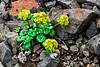 52.Chrysosplenium wrightii 2008.6.29#161. Thoro Ridge, Denali Park Alaska.