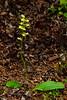 32.Platanthera obtusata 2014.7.6#115. One-leaf Rein Orchid. Near Glennallen, Alaska.