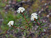 69.Ledum palustris,groenlandicum 2014.6.22#022. The Labrador Tea. Mendeltna Creek, Nelchina Basin, Alaska.