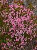 69.Loiseleuria procumbens 2014.6.6#113. The Alpine Azalea. Denali highway east of Canyon Creek, Alaska.