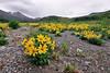 89.Arnica frigida 2011.6.14#092.3. The frigid arnica. Phelan Creek Eastern Alaska Range Alaska.