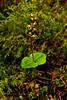 32.Listera cordata 2011.7.17#030. The typical purple flowered Heart Leaved Twayblade. About 12 cm tall. Coastal Hemlock forest, Wiinner Creek, Turnagain Arm,Alaska.