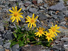 89.Arnica frigida 2014.7.5#094. The Frigid Arnica. Red Rock Creek north of Rainbow Mountain, Eastern Alaska Range, Alaska.