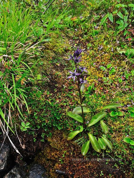 73.Swertia perennis 20100.8.2#056. The Star Gentian. Hatcher Pass, Talkeetna Mountains, Alaska.
