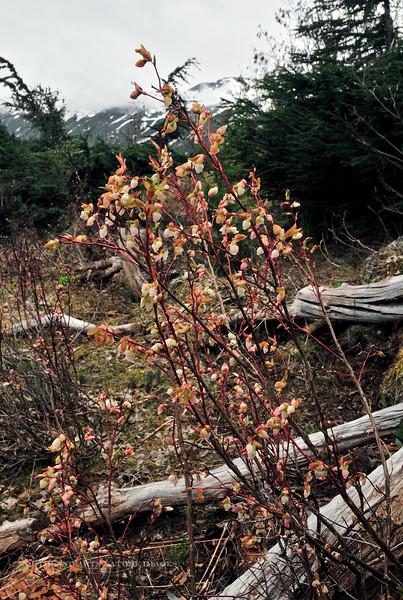 69.Vaccinium ovalifolium 2010.6.23#055. The Mountain,Early,Oval or Alaska Blueberry. Turnagain Pass, Kenai Peninsula, Alaska.