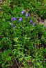 46.Aconitum delphinifolium 2011.7.31#150. The Monk's Hood. Near Windy Point, Turnagain Arm South Central Alaska.