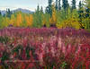 62.Epilobium angustifolium 2017.9.4#059.3. Fireweed going to seed, backdropped by Willow and White Spruce. Viewed from the Alaska Highway near Burwash Landing. Yukon Territory Canada.