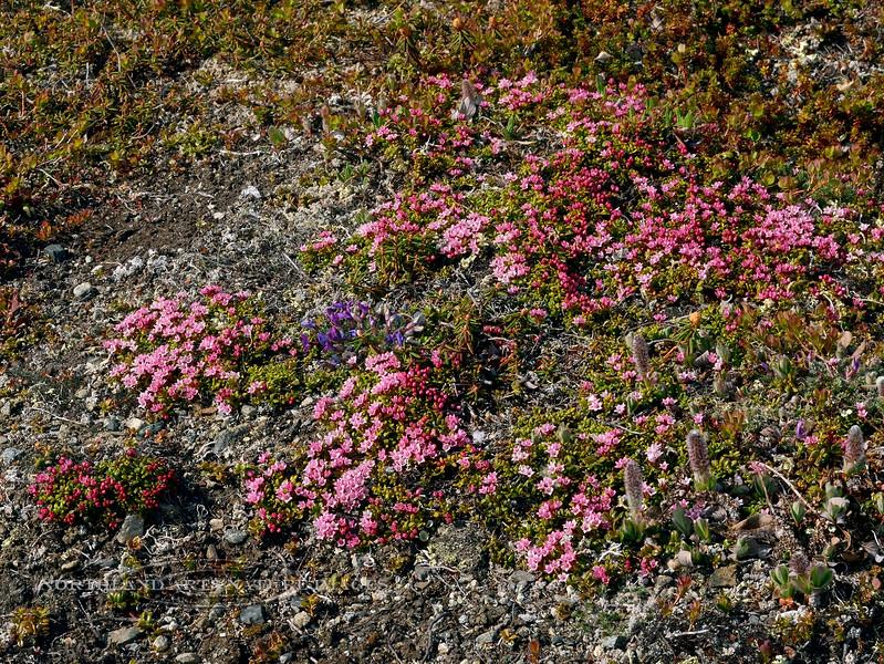 69.Loiseleurea procumbens 2014.6.6#133. The Alpine Azalea. Denali highway east of Canyon Creek, Alaska.