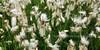 26.Eriophorum angustifolium 2011.7.14#001. Cotton Grass. near Chulitna River, Alaska.
