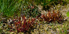 50.Drosera anglica, the Long-Leaf Sundew. Turnagain Pass, Alaska. #723.029. 1x2 ratio format