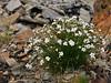 43.Arenaria capillaris 2010.7.12#147. The Tall Sandwort. West side Savage Canyon, Denali Park Alaska.