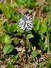 80.Lagotis glauca minor 2015.6.22#269. A pale whiteish variation of the purple blue Weasel Snout. Teller area, Seward Peninsula, Alaska.