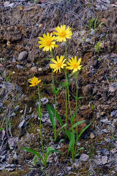 89.Arnica alpina,angustifolia 2009.6.9#019. The Alpine Arnica. The HOT Spot near the Yukon River, Dalton Hwy Alaska.