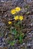 89.Arnica alpina,angustifolia, the Alpine Arnica. near Yukon River, Dalton Hwy. #69.019. 2x3 ratio format.