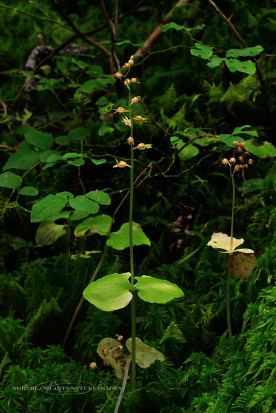 32.Listera cordata 2010.8.20#043. Heart-leaved Twayblade orchid. Winner Creek, Turnagain Arm, Alaska.