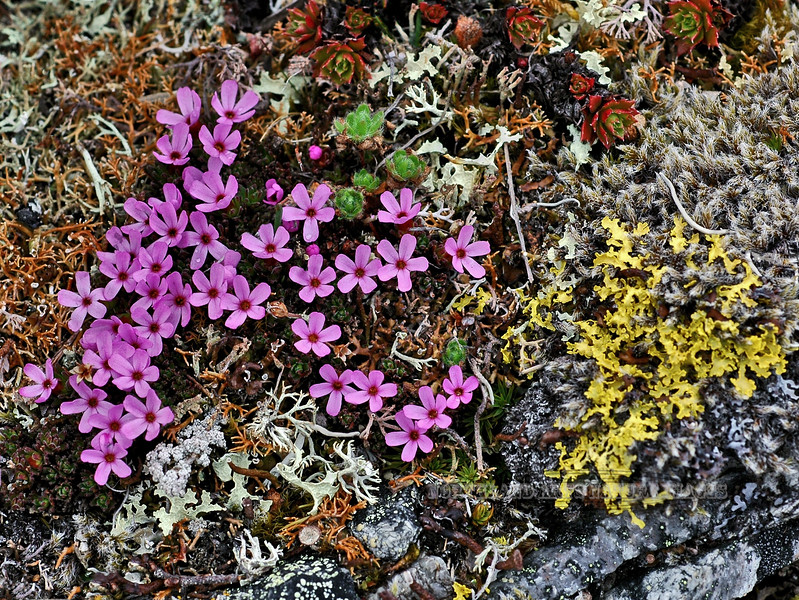 71.Douglasia gormanii 2007.5.19#0079.3. Gorman's Dwarf-primrose. Savage Canyon, Denali Park Alaska.