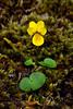 60.Viola biflora 2014.6.24#197. The Small Yellow Violet. Savage Canyon west side, Denali Park Alaska.