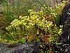 52.Saxifraga bronchialis 2011.7.3#234. The Yellow Spotted Saxifrage. N.E. side Mount Healy, Alaska.