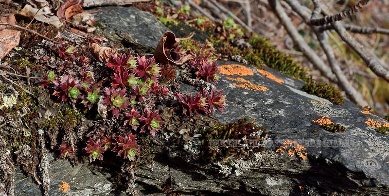 52.Saxifraga tricuspidata 2016.3.29#068. The Prickly Saxifrage. Rainbow Trail south end, Turnagain Arm, south of Anchorage, Alaska.