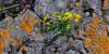49.Draba incerta, Whitlow Grass. Turnagain Arm, Alaska. #58.007. 1x2 ratio format