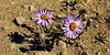 89.Erigeron species maybe Hyperboreus or muirii 2012.7.11. Coastal plain of the North Slope, Alaska.