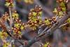 61.Shepherdia Canadensis 2007.5.5#0026. Soapberry flowers. Rainbow Trail Turnagain Arm, Alaska.