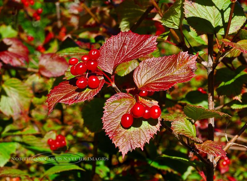 85.Viburnum edule 2006.8.29#0012. High Bush Cranberry is a favorite of many berry pickers for making jams & jellies. Granite Creek, Seward highway Kenai Peninsula, Alaska.