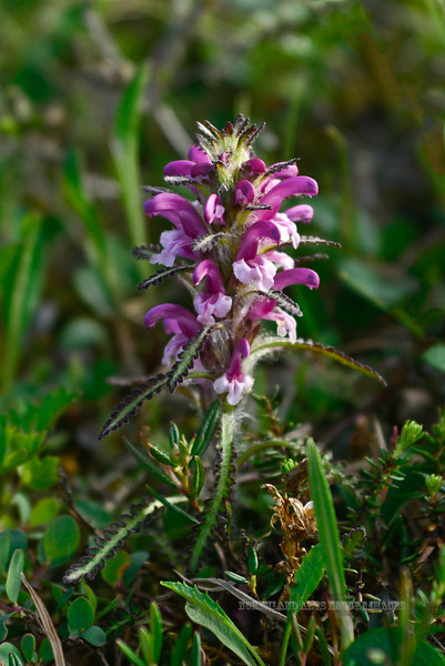 80.Pedicularis langsdorfii 2013.7.15#056. The Arctic Lousewort is similar to Wooly Lousewort but has much more lavender flowers. Thompson Pass, Richardson highway, Chugach mountains, Alaska.