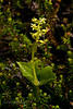 32.Listera cordata. The green flowered varient of the Heart-Leaved Twayblade is a less common orchid here in Alaska. This mature plant is only 8 centimeters tall. They are difficult to spot even on the open tundra. Talkeetna Mtn's,Alaska. #715.179.