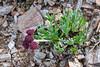 89.Artemisia globularia. The Purple Wormwood. Alaska Range, Alaska. #79.297.