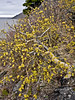 33.Populus tremuloides 2016.4.15#024. The Quaking Aspen. Above Windy Point, Turnagain Arm, South Central, Alaska.
