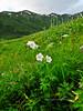 55.Geranium erianthum 2010.7.22#108. The common Wild Geranium, but as an uncommon pure white form. Turnagain Pass, South Central, Alaska.