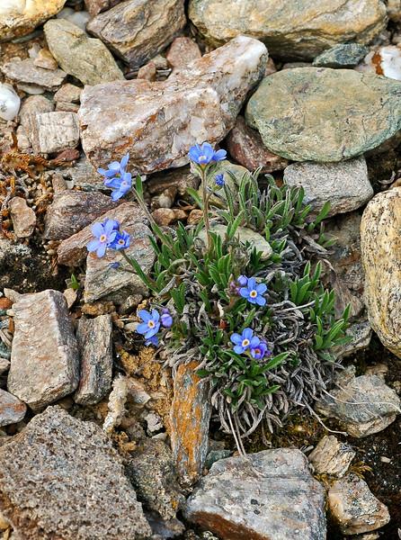 77.Eritrichium splendens 2006.6.20#0125. The Splendid Forget-Me-Not. Lower slopes of Mount Healy, Bison Gulch Alaska.