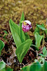 32.Cypripedium guttatum 2013.6.29#072.7XX. The Spotted Lady Slipper Orchid. Mount Healy Alaska.