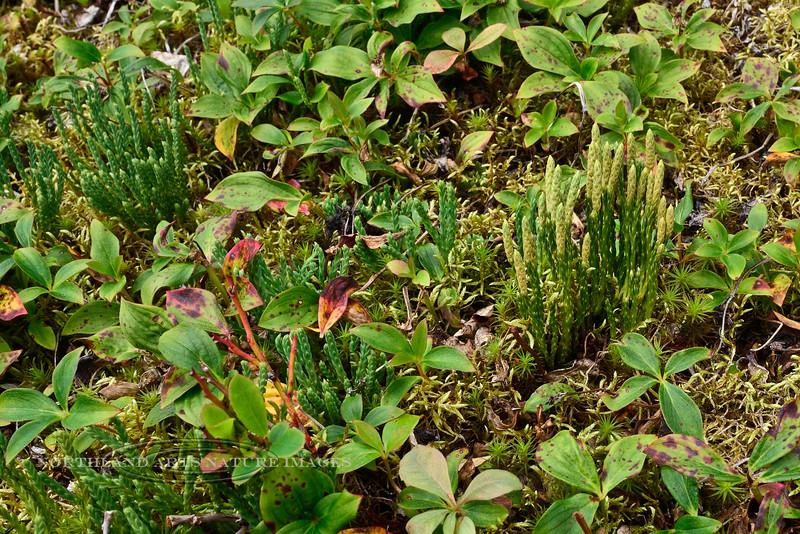 1.Lycopodium alpinum 2014.8.6#183. Alpine Club Moss. Turnagain Pass, Kenai Peninsula, Alaska.