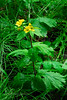 53.Geum macrophyllum,ssp.perincisum 2008.7.22#002. Large Leaf or Yellow Avens, showing deeper cleft dividing the basal leaves ref.Hulten. Winner Creek Trail, Turnagain Arm, Alaska.