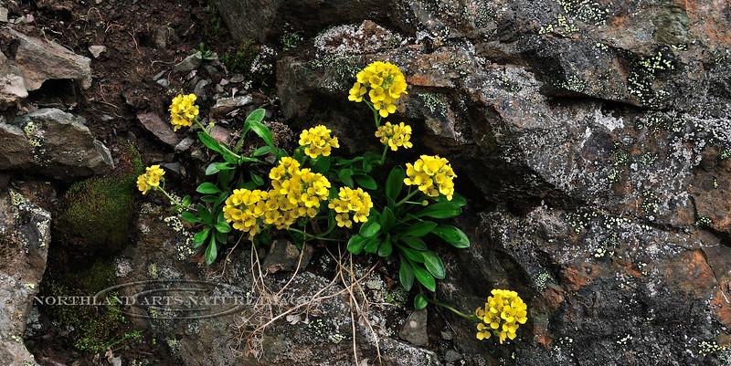 "49.Draba stenoloba, maybe 2011.6.30#101. Just under the ""Gunsight"" Sheep Mountain, Talkeetna's Alaska."