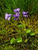 60.Viola Langsdorfii 2010.7.30#053. The Alaska Violet. Turnagain Pass, Alaska.